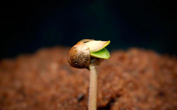 Уход в первые дни жизни конопляного ростка