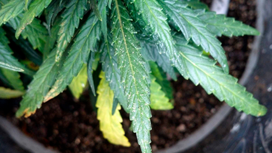 7 причин медленного роста конопли