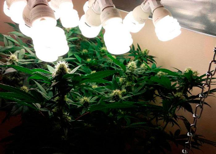 Как вырастить марихуану