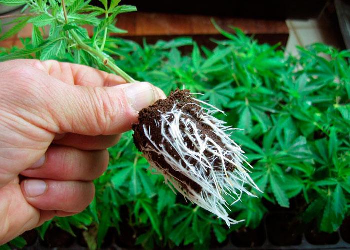 Как создать лучшие условия для корней