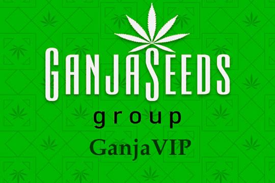 Оптовые цены на семена конопли GanjaVIP