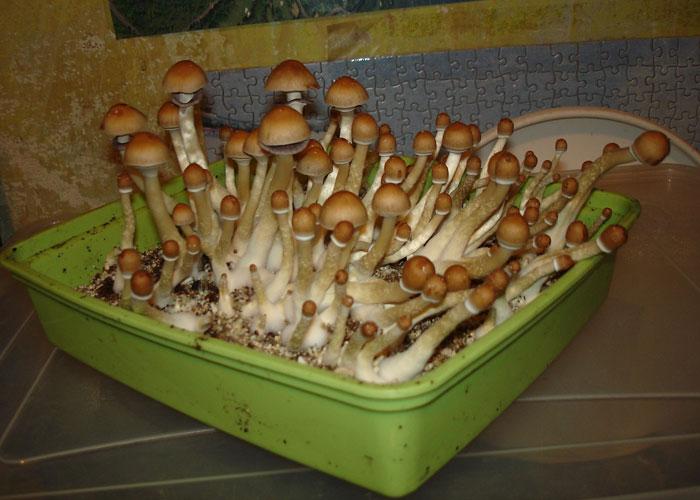 Что скрывают в себе психоделические грибы