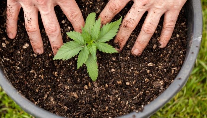 Как меняется удобрение марихуаны на протяжении жизненного цикла