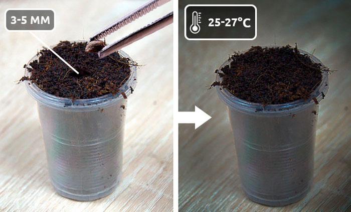 Проращивание семян конопли в грунте