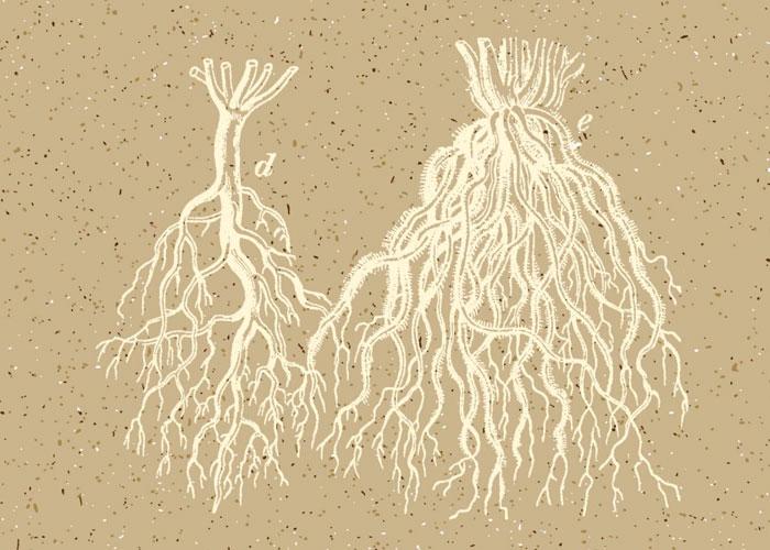 Общая информация о корневой системе конопли