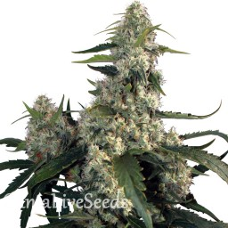 Buddha's Sativa feminised Ganja Seeds
