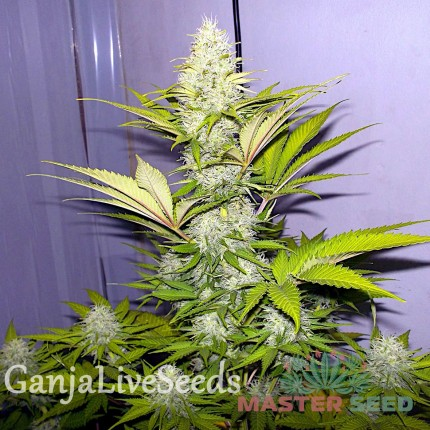 Cheese feminised Master Seed