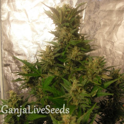 Auto Easy Ryder feminised Ganja Seeds