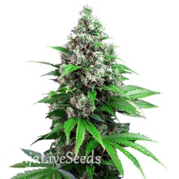 Auto Killer Kush feminised Ganja Seeds