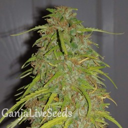 Auto Super Bud feminised Ganja Seeds