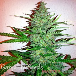 Early Skunk feminised Master Seed