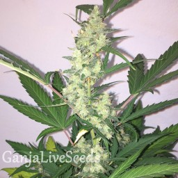Auto New York Diesel feminised Ganja Live Seeds
