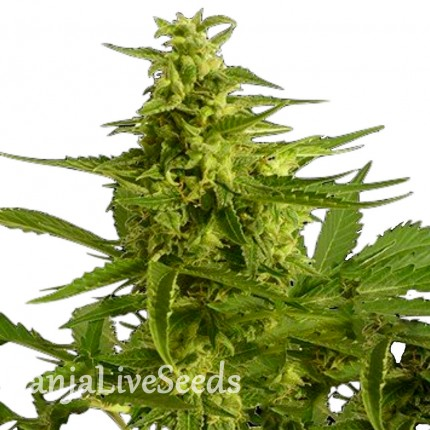 Auto Critical Hog feminised Ganja Seeds
