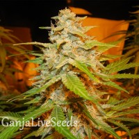 Auto Himalaya Blue Diesel feminised Short Stuff Seeds