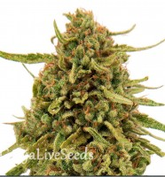 Widow Remedy feminised GanjaLiveSeeds