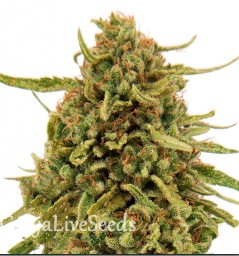 Widow Remedy feminised Ganja Live Seeds