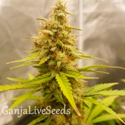 Auto Critical Hog feminised GanjaLiveSeeds