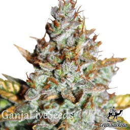 Auto Blueberry feminised Green Silk Road Seeds