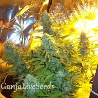Auto Easy Ryder feminised GanjaLiveSeeds