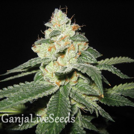Auto Great White Shark feminised Ganja Seeds