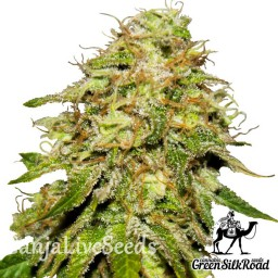 Auto Critical feminised Green Silk Road Seeds