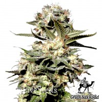 Auto Somango feminised Green Silk Road Seeds