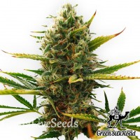 Auto Super Skunk feminised Green Silk Road Seeds