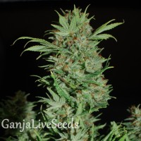 Auto Wembley feminised GanjaLiveSeeds
