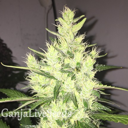 Auto Dr. Grinspoon feminised Ganja Seeds