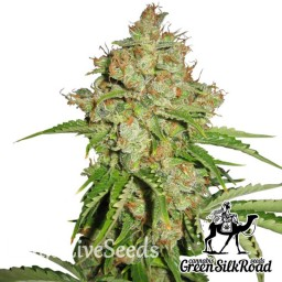 Auto White Russian feminised Green Silk Road Seeds
