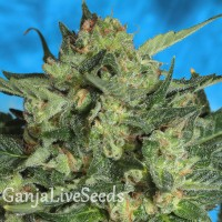Auto White Russian feminised Ganja Live Seeds