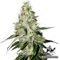 Auto White Widow feminised Green Silk Road Seeds