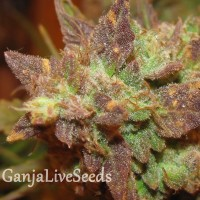Auto Big Devil 2 feminised Ganja Seeds