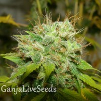 Auto Super Mazar feminised Ganja Seeds