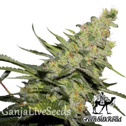AK 47 feminised Green Silk Road Seeds