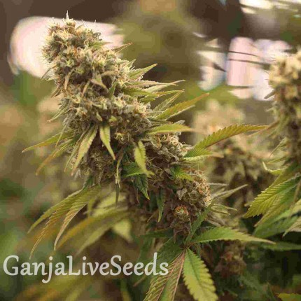 2046 feminised Ganja Seeds