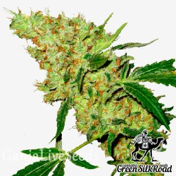 Amnesia feminised Green Silk Road Seeds