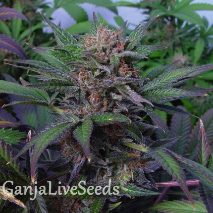 Auto Somango x Blueberry feminised Ganja Seeds