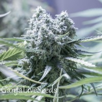 Auto Critical feminised Ganja Seeds