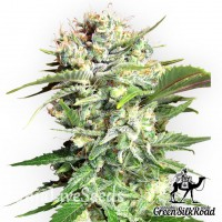 Bubble Gum feminised Green Silk Road Seeds