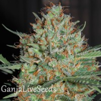 Auto White Widow CBD feminised GanjaLiveSeeds