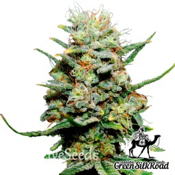 Chronic feminised Green Silk Road Seeds