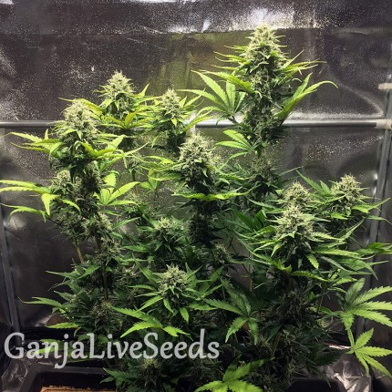 Cheese Berries feminised Ganja Seeds
