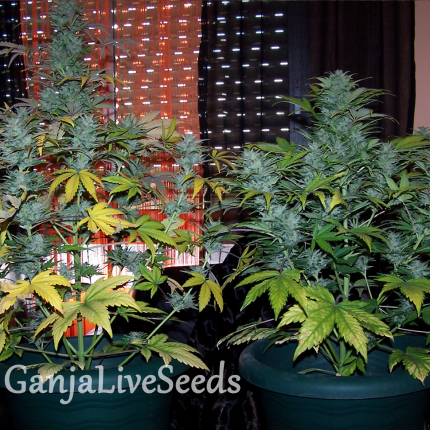 Auto White Dwarf feminised Ganja Seeds