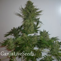 AK 47 feminised GanjaLiveSeeds
