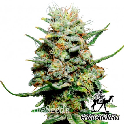 Critical feminised Green Silk Road Seeds