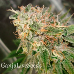 Cookies Kush feminised Ganja Seeds
