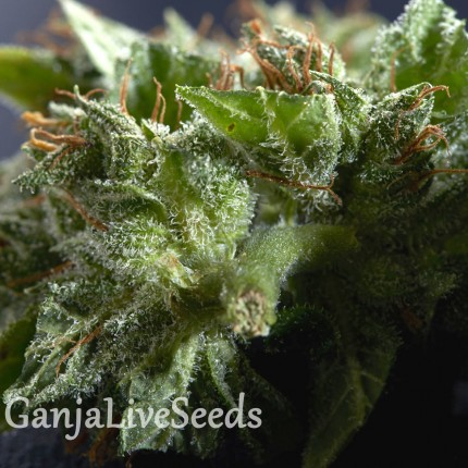 Morhine feminised Ganja Seeds