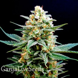 AK 49 feminised Ganja Live Seeds