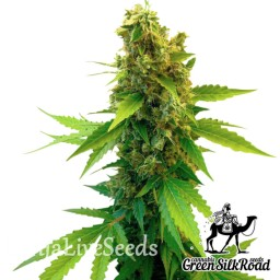 Great White Shark feminised Green Silk Road Seeds